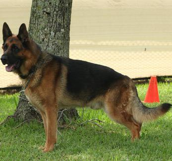 Personal Protection Dogs Trained Family Protection Dogs Personal